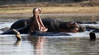 Hippo: Nature's Wild Feast